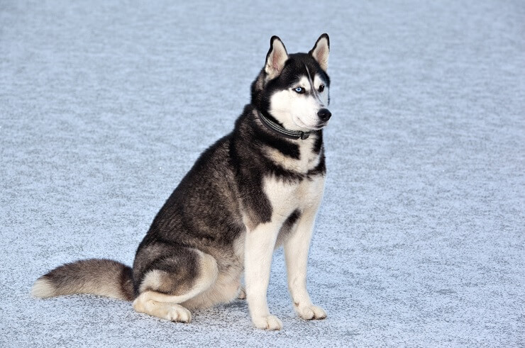Husky Names 200 Extraordinary