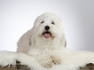 13 Most Popular White Dog Breeds Fluffy, Small, Large and More Cover