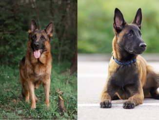 Belgian Malinois vs German Shepherd Everything You Need to Know Cover