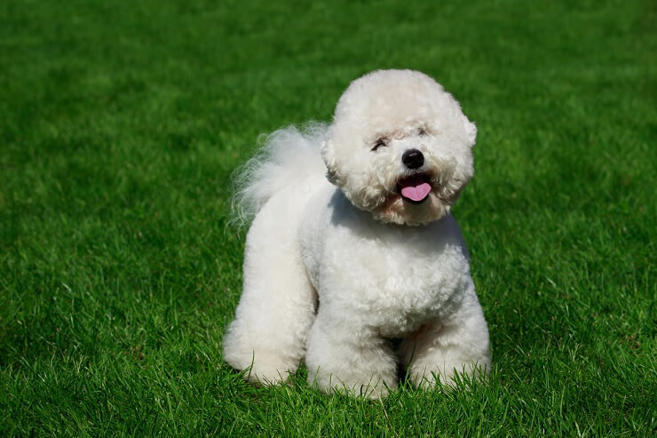 13 Most Popular White Dog Breeds Fluffy Small Large And More