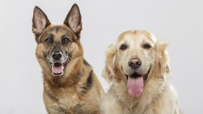 German Shepherd Lab Mix Everything You Need to Know Before Buying Banner