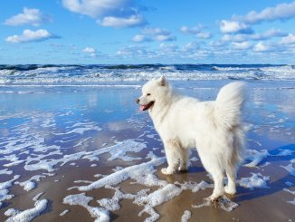 How Much Does A Samoyed Cost The Complete Buyer's Guide Cover