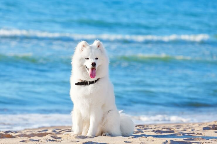 how much does a samoyed cost? the complete buyer's guide