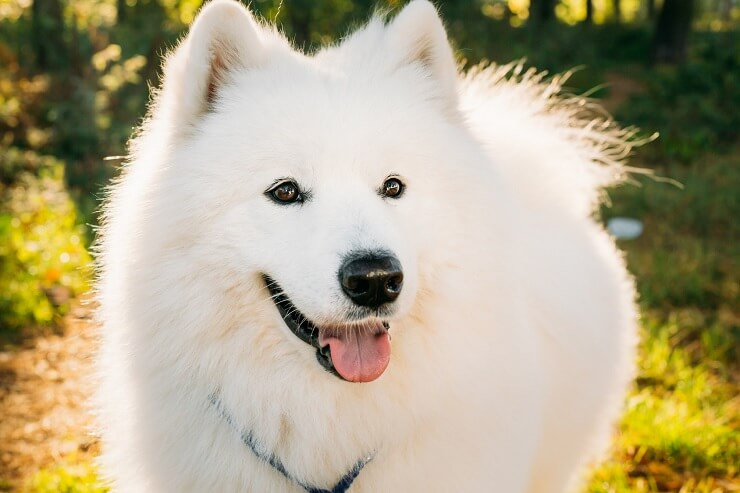 Samoyed Walking