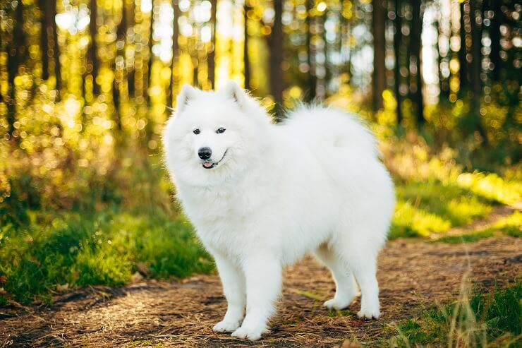 Samoyed in Forrest