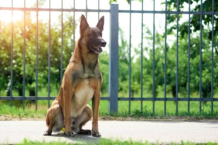 Belgian Malinois: What to Know Before Buying