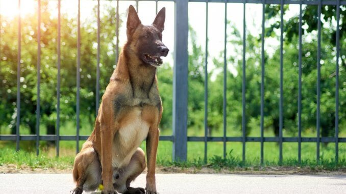 Belgian Malinois What to Know Before Buying Cover