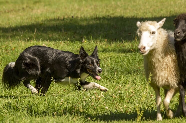 Border Collie Herding Dog
