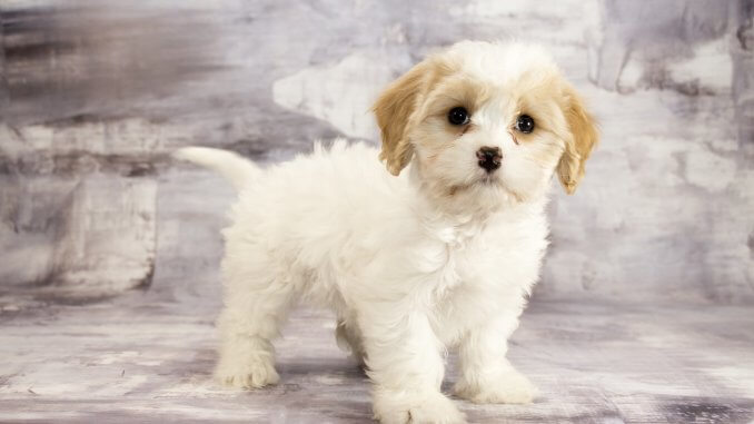Cavachon The Complete Care Guide To This Teddy Bear Banner