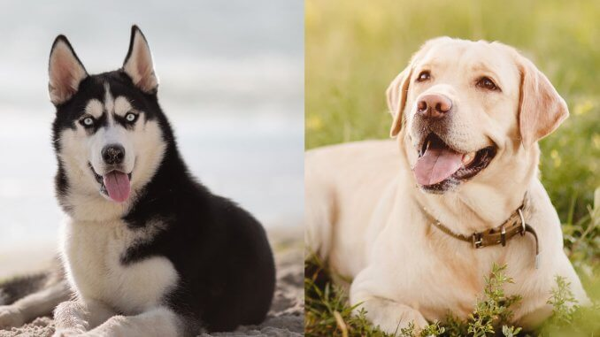Husky Lab Mix Why Huskadors Are Better Than Labs