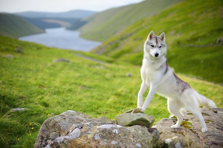 Husky on Walk