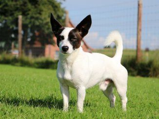 Jack Russell Chihuahua Mix Is This Tenacious Terrier The Dog For You Banner