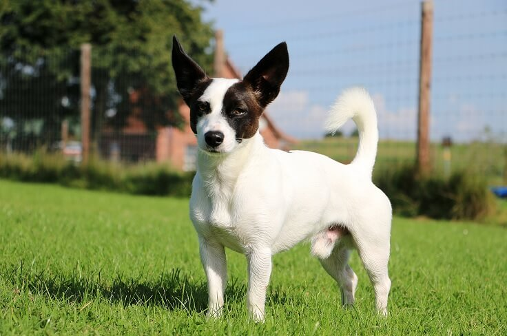 Jack Russell Chihuahua Mixex