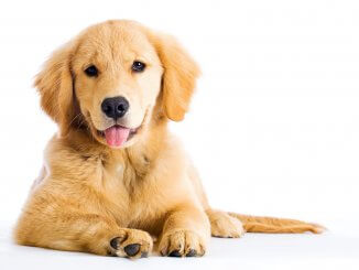 Miniature Golden Retriever Is The Comfort Retriever The Dog For You Banner