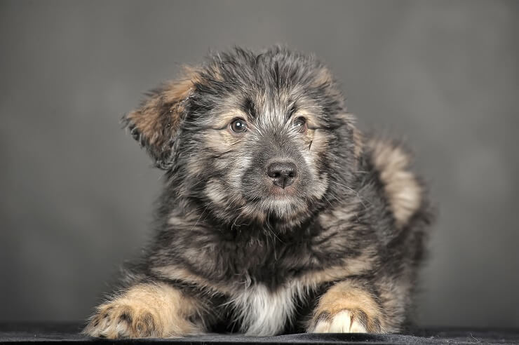 Russian Bear Dog Puppy