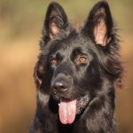 Black German Shepherd Appearance