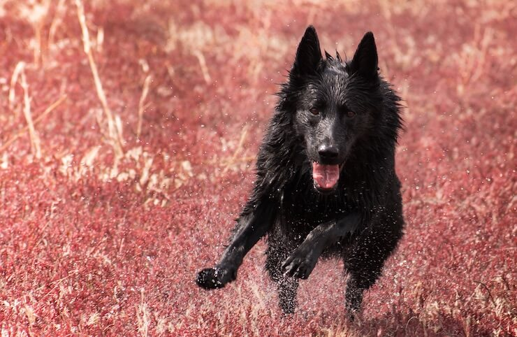 Black German Shepherd Running