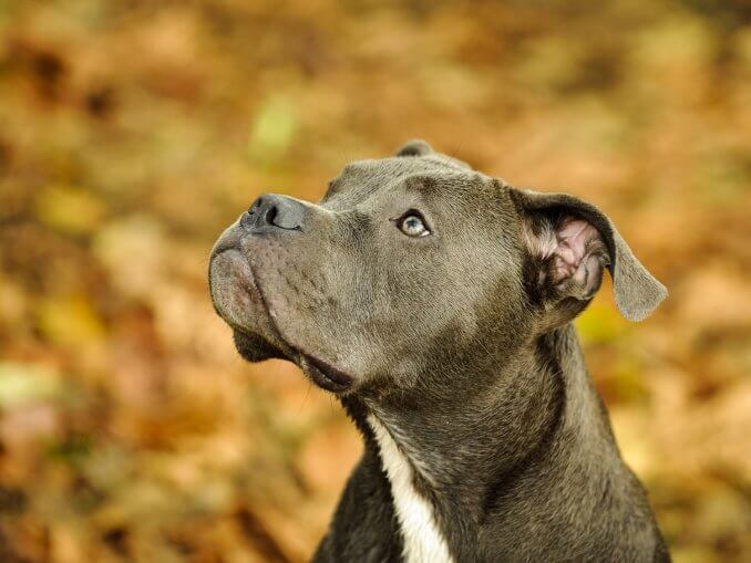 Blue Nose Pitbull Dog Breed Information and Owner's Guide Banner