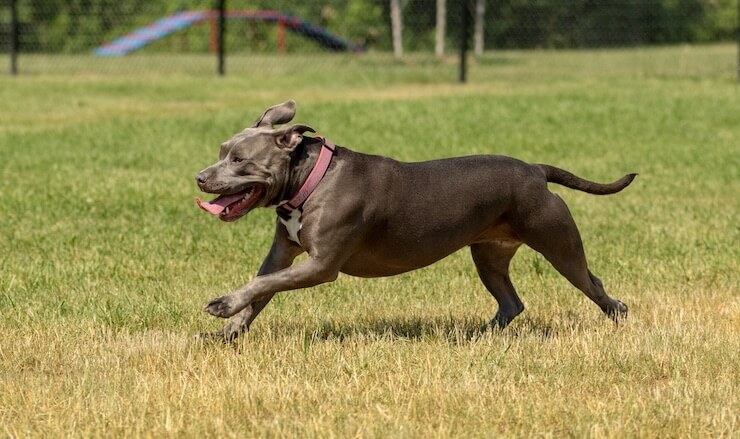 Blue Nose Pitbull: Dog Breed Information and Owner's Guide