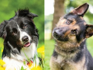 Border Collie German Shepherd Mix - The World's Best Family Dog?