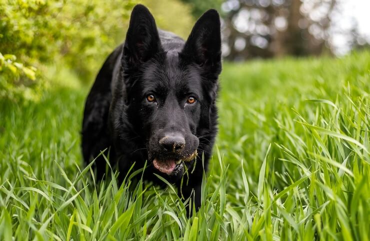 GSD Eating Grass
