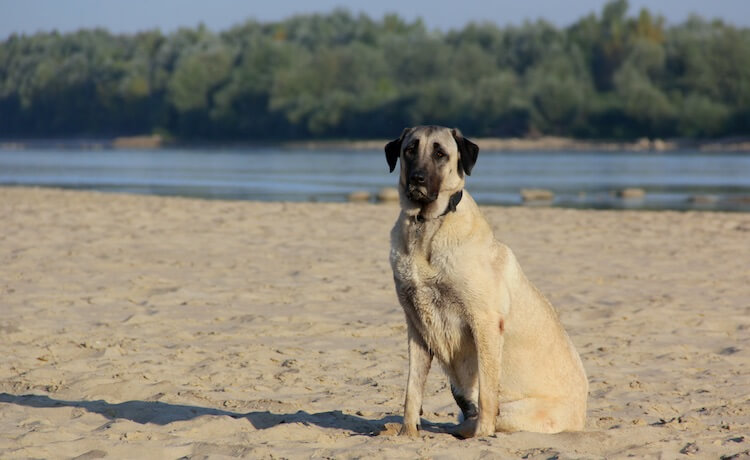 Kangal Dog Sitting