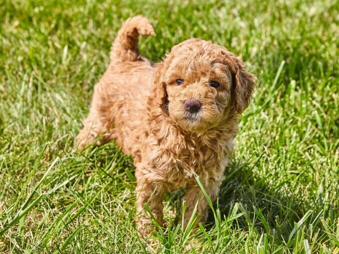 Mini Goldendoodle A Small And Mighty Teddy Bear Mix Banner