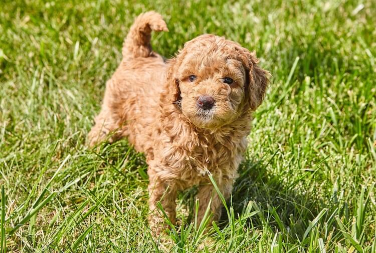 Mini Goldendoodle A Small And Mighty Teddy Bear Mix