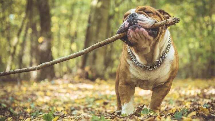 Old English Bulldog Playing