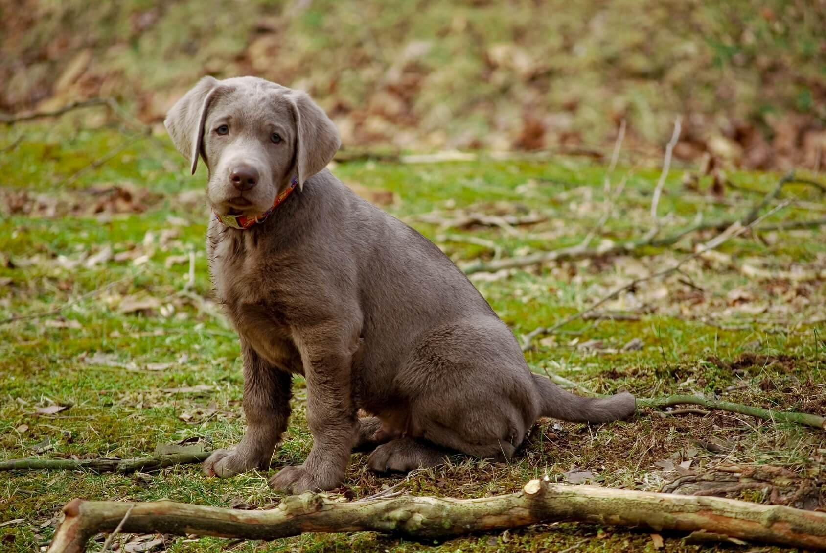Silver Lab What To Know About This Stunning Retriever Perfect Dog Breeds