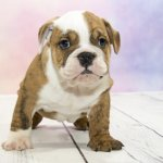 Victorian Bulldog Puppy in a Training Class