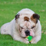 Miniature Bulldog Playing