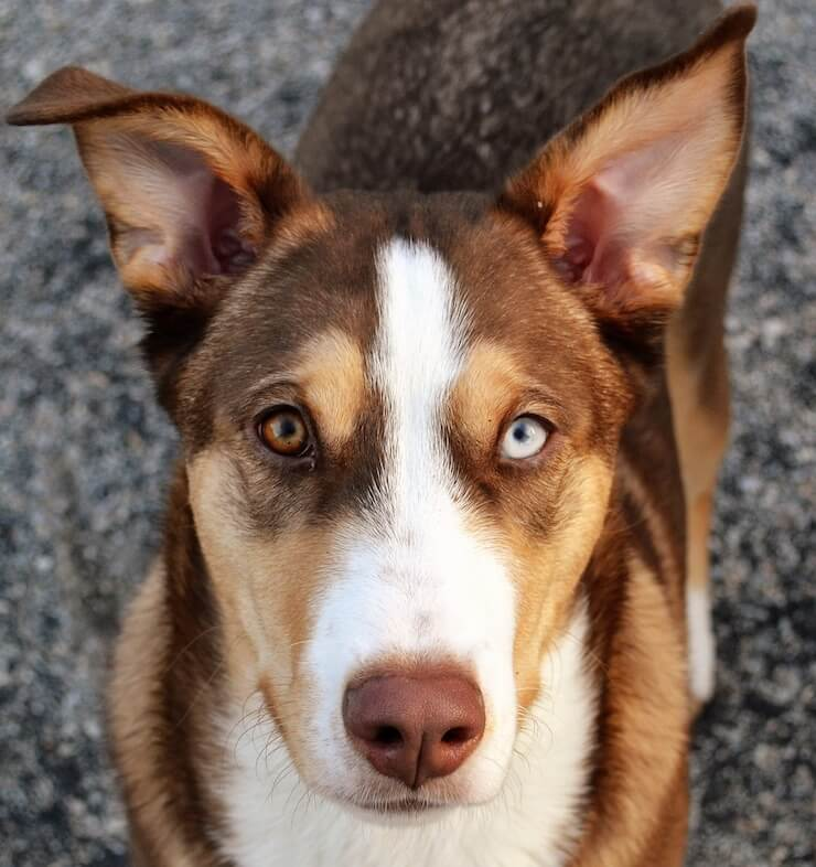 Appearance of a Corgi Husky Mix