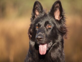 Black German Shepherd The Definitive Owner's Guide Cover