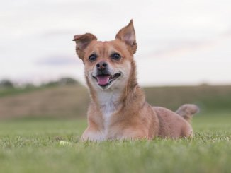 Chihuahua Terrier Mix The Most Popular 5 Mixes Revealed Cover