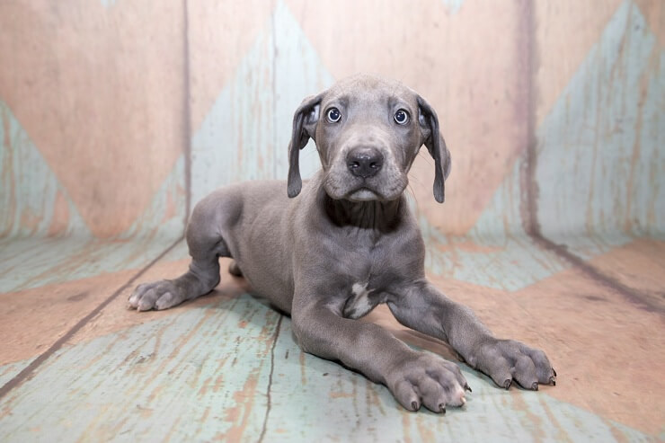 How Much Does A Great Dane Cost? The Complete Buyer's Guide
