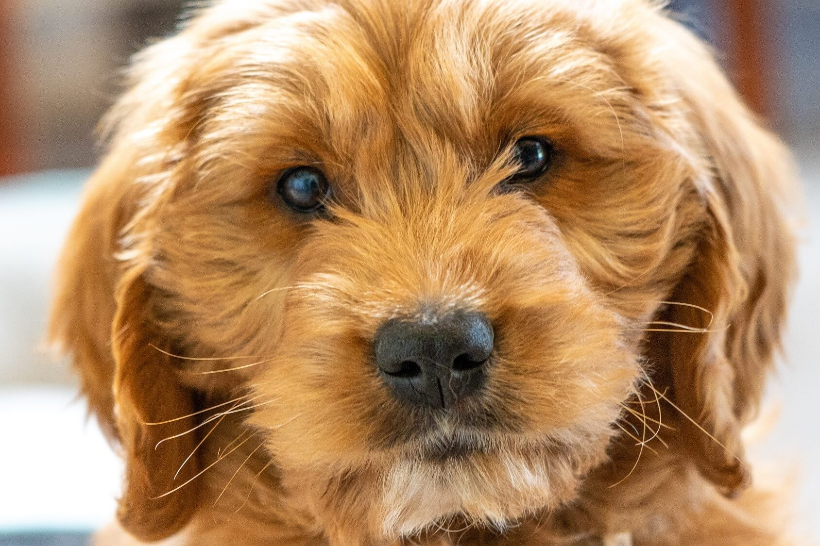 Labradoodle Vs Goldendoodle Which Doodle Is Right For Your Family Perfect Dog Breeds