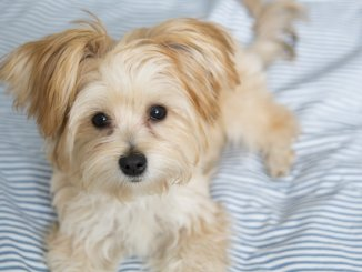 Morkie Breed Information The Pet Parent's Complete Guide Cover