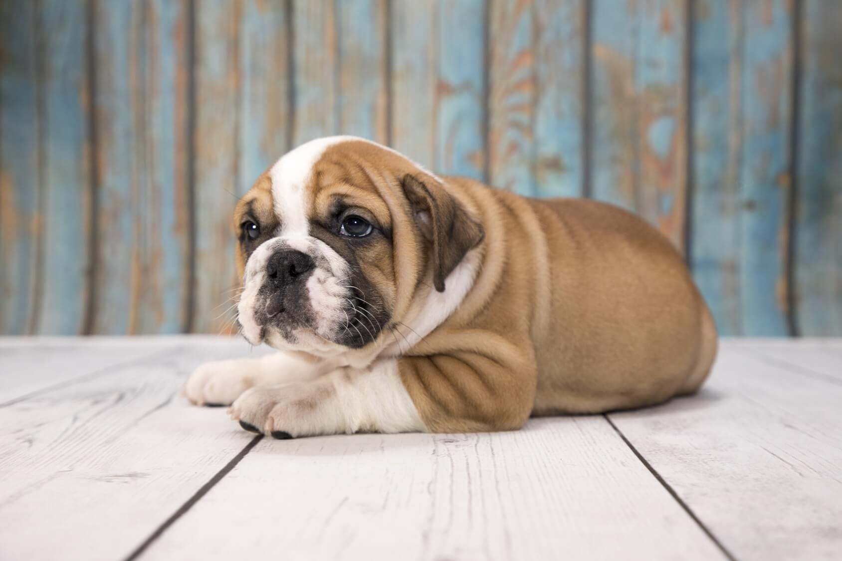 Victorian Bulldog Is This The Best Bulldog Perfect Dog Breeds