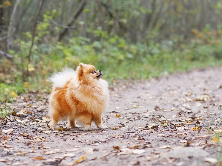 A Pomchi Walking