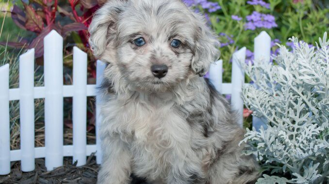 Aussiedoodle Is This Teddy Bear Dog Right For Your Family? Cover