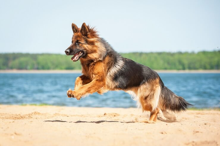 King Shepherd On Beach
