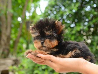 The Complete Teacup Yorkie Care Guide Price, Lifespan and More... Cover