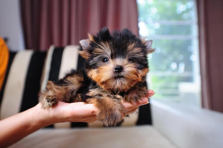 The Complete Teacup Yorkie Care Guide: Price, Lifespan and More…