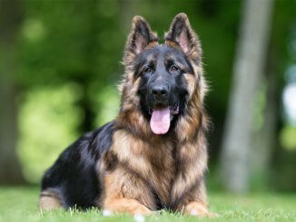 King Shepherd Breed Info Is This The Best Shepherd For You? Cover