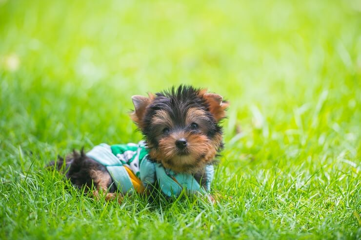 teacup yorkie on walk