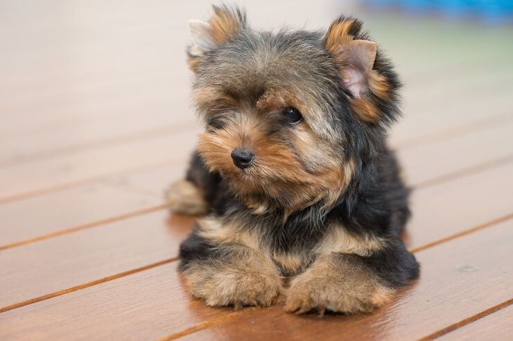 teacup yorkie picture