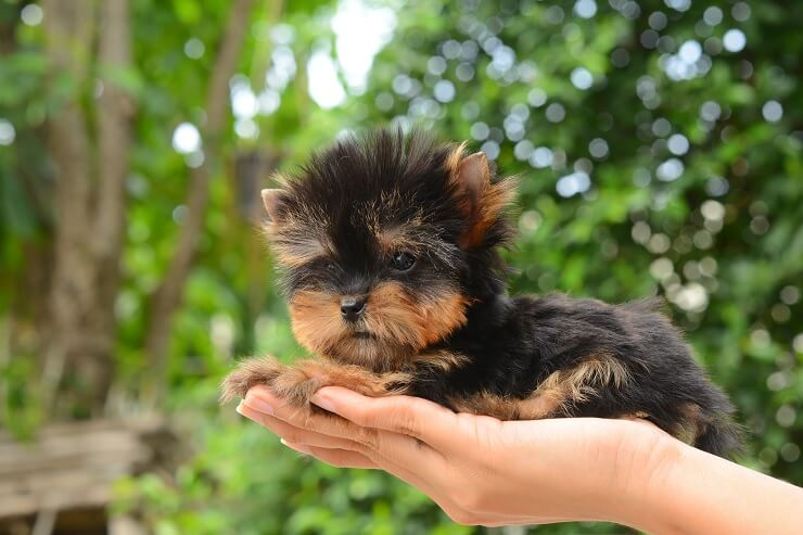 The Complete Teacup Yorkie Care Guide