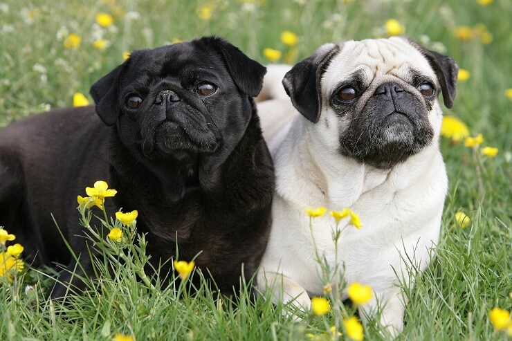 A Black and White Pug