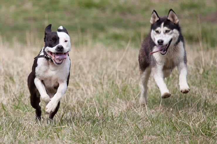 A Pitbull and Husky Running